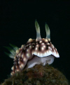 I took this shot as the nudi was well posed and then called my friend over to take a shot. It was only afterwards on dry land that he showed me his shot that had the eggs it had just layed! Doh!