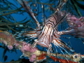 pterois