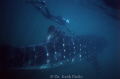 Whale shark Holbox Yucatan  Mexico snorkelling 30 miles offshore