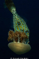 A scribbled filefish, Aluterus scriptus, nibbling on a jellyfish. Picture taken at the drop-off in Tulamben, Noth-east Bali.