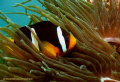 one of my favorite subjects, clownfish! took me at least 10 shots to get one decent one! :)