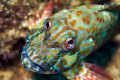 Stocky Hawkfish - if Picaso only knew. Always fun to photograph these guys.