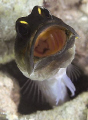 Unfortunately no eggs - but cool to watch this jawfish cleaning out its home and then getting its breath back. Perhaps I could burrow some of Brian's jelly beans?