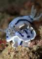 Happy Couple! Chromodoris Willani. Pic taken at Mabul Island, Sabah, Malaysia.
