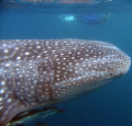 Huge .... whaleshark, Ningaloo Reef - Coral Bay