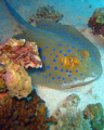 Bluespotted stingray, (Taeniura lymna)