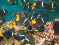 Shot this in the Galapagos near the surface. Didn't expect to see angelfish exhibit this schooling behavior