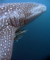 Whaleshark portait, Ningaloo Reef