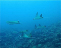 A whole schoal of Pygmy Devil Rays of Layang Layang, 5/23.