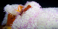 Pink Anemone Fish 