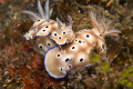 2 nudi's , nudi falls great dive for many nudibranchs on black sand in the lembeh Strait