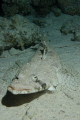 Indian Ocean Crocodile Fish (Papilloculiceps longiceps) shot on a night dive using a Canon EOS 300D in Nimar housing, Sigma 50mm macro, Nikonos SB-105 strobe.