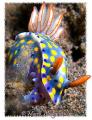 Hypselodoris Kanga nudibranch, Tukad Abu, Bali (Canon G9, WP-DC21,Inon D2000w)