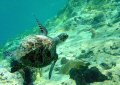 Just a little hawksbill,isn't it!.....but an heady dance.(free snorkle)