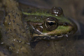Common pond frog. Taken with Canon 40D and a 150 mm sigma lense.