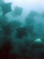 school of mobula rays...cabo pulmo, Baja California