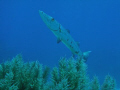 Barracuda on French Reef at Key Largo National Marine Sanctuary