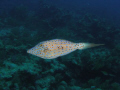 Scrawled Filefish French Reef in The Florida Keys Marine Sancuary off Key Largo