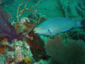 Stop Light Parrot Fish shot on the wreck of the Benwood Key Largo Fl In the National Marine Sanctuary