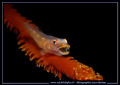 Just when it was opening his mouth... that is luck... :O) Just love these Gobies... :O)