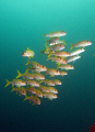 School of goatfish. Look at the guy on the left: