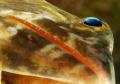 Lizardfish, viewed from below.  D300