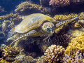 Hawksbill turtle, a real messy eater