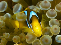 Red Sea Anemone / Clown fish at home. Olympus E-300 50mm + 1.4TC.