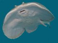torpedo ray, free swimming,