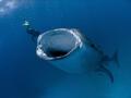 Whale Shark feeding at Hanifaru - Baa Atoll, Maldives. Olympus SP350, Inon fisheye lens.