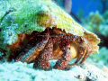 Ole Shy Blue Eyes [Hermit Crab]