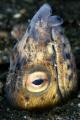 Blacksaddle snake eel. Lembeh Streit.