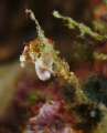 Pair of Pontowii pigmee seahorses +/- 0,8 cm in Raja Ampat, Indonesia, picture taken with Fuji S2 pro and 60 mm lense. 