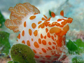 This charming little Red-Papulose Gymnodoris (Gymnodoris rubropapillosa) is one of the predator nudibranchs that hunts down and eats other nudibranchs. ..><((((>..`...><((((>..Canon G9 & Inon UCL-165 macro lens