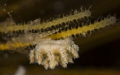 Tiny nudibranch  -- Isles of Scilly  