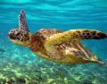 This beautiful Green Sea Turtle was shot off the coast of Kona, Hawaii naturally lit by ambiant light at about 5 feet underwater.