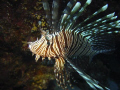 Lionfish looking into the camera, Sony P5
