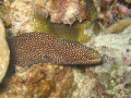 spotted Moray in Moray...A French Polynesia