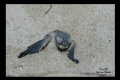 Hatchling Turtles on our beach.