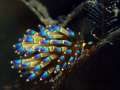1 of my fav nudi, but this is my 1st time meet with it. Photo taken @ Perhentian Island, Malaysia. With Canon G9, Inon single strobe and macro lens.