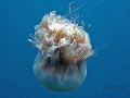 Gracefull Large bopping jelly fish. A640 with strobe Z240