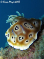 The Leopard Nudi (Chromodoris leopardus)....><((((>`..`...><((((>`..Canon G9 & Inon UCL-165 macro lens