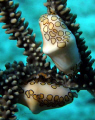 Flamingo tongue snails. Photo taken with an Olympus SP- 550UZ, Grand Cayman Island, July 2008