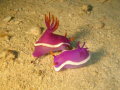 Nudi, Hypselodoris bullockii
