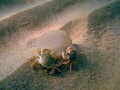 Two crabs eating the jelyfish. It seems taht they are trying to dance with her.