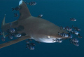 Oceanic shark with pilot fish D100 12-24mm