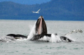 Bubblenet feeding in South East Alaska - Humpback whales