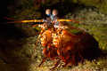 Get out of my cave!!  Mantis shrimp defends it's cave from prying eyes.