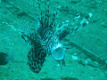 A Common Lionfish with it's mouth open.  Taken in July 2008 at the 'King Cruiser Wreck' dive site in Phuket, Thailand.
