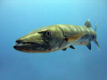 The Great Barracuda